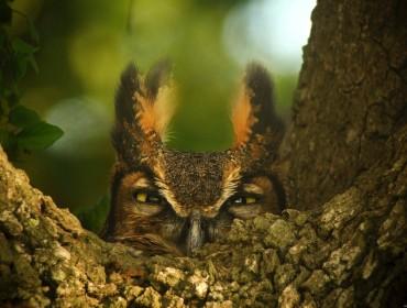 thumbnail_great-horned-owl-1157986_1280